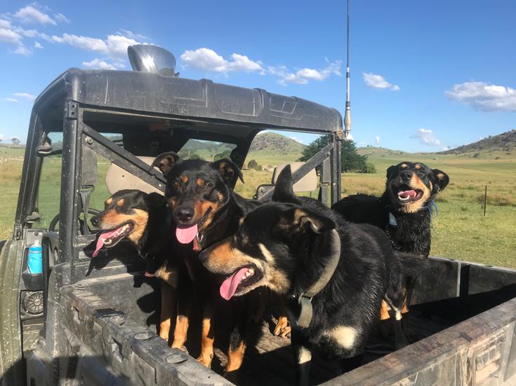 booroomba working dogs